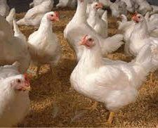 denuncia-pollos