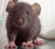 denuncia-ratas