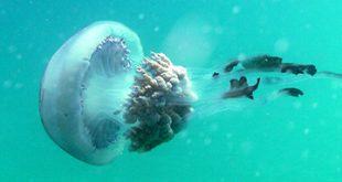 infonerja-medusa